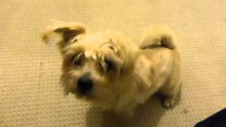 Training My Dog Norfolk Terrier - Yuki