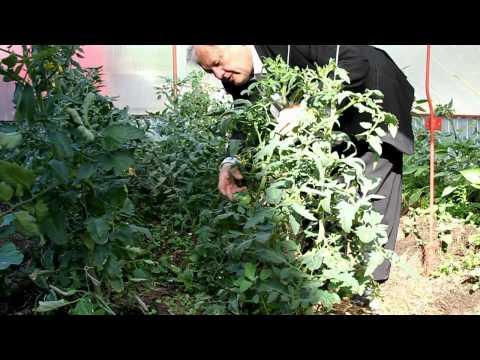 распопов томаты в грунте и теплице в конце мая.avi