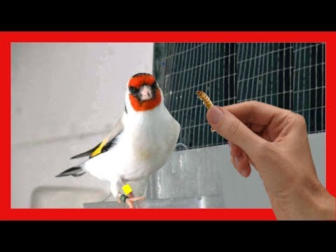 Food for goldfinches 🐣 Tricks for the breeding of goldfinches 🐤