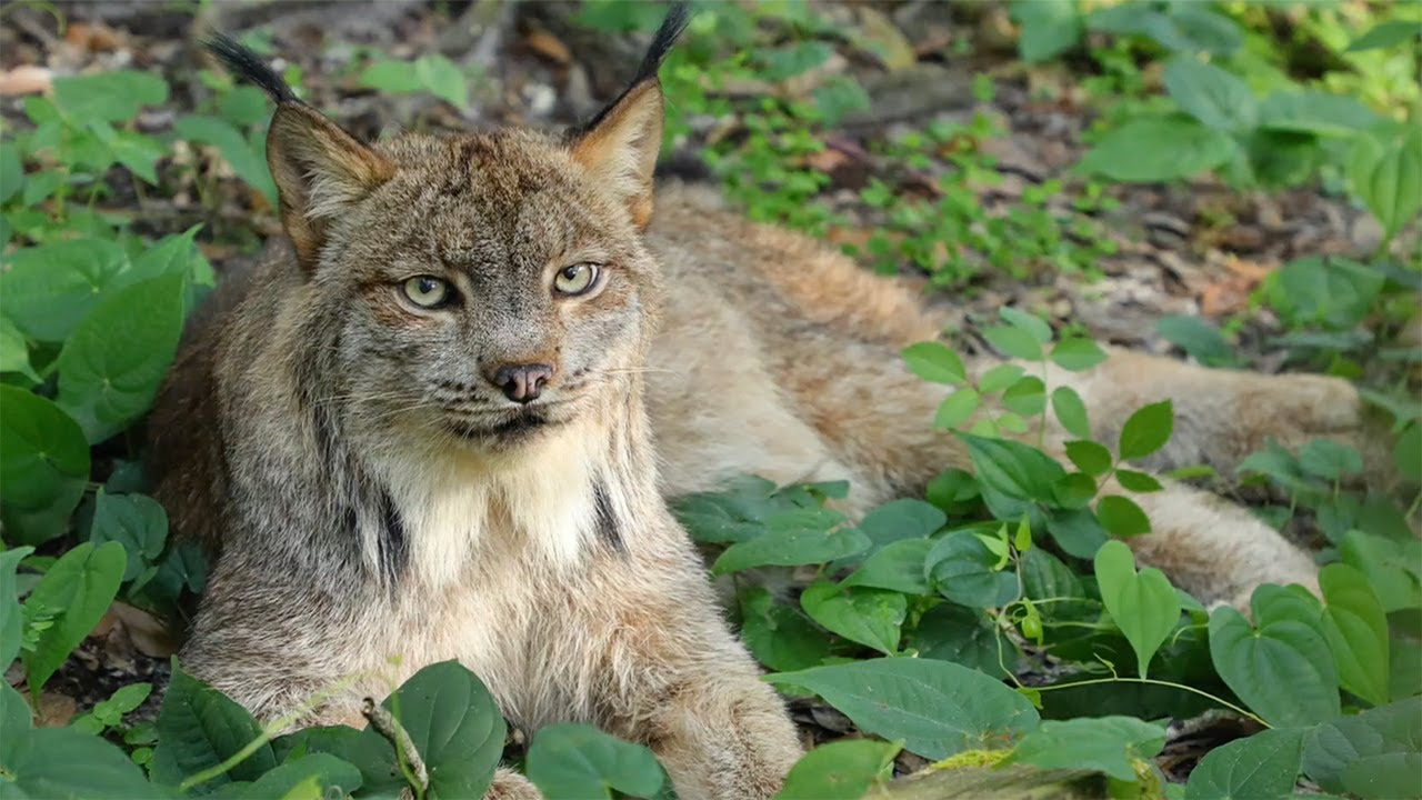 Canada Lynx Loses His Tail