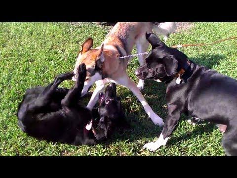 Pitbull Labrador VS Husky VS German Shepherd Labrador ...