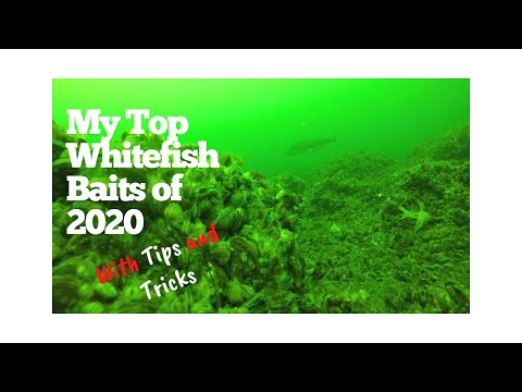 My Top Whitefish Baits Of 2020 Plus Tips And Tricks For Catching More Fish!