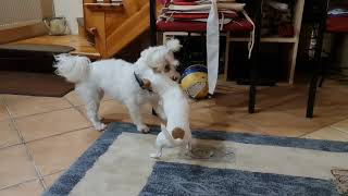 dogs fight chihuahua vs maltese  note 20 ultra 4k 60fps
