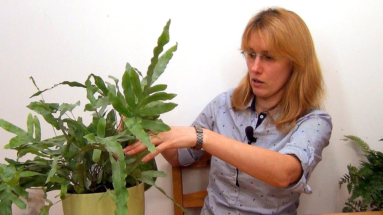Полиподиум  Polypodium  happyfloraru
