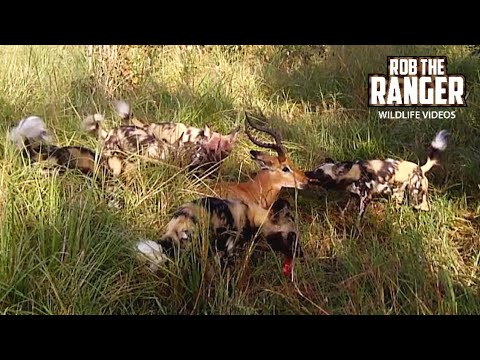 Unbelievable African Painted Dog Footage!! Impala Caught Next To The Tourists!