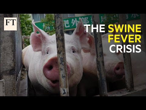 Why The Spread Of African Swine Fever Is A Human Crisis I FT