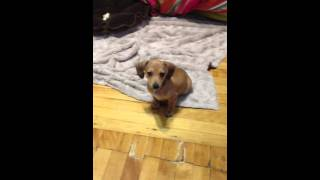 Dachshund/chihuahua Mix -baby Kkoma