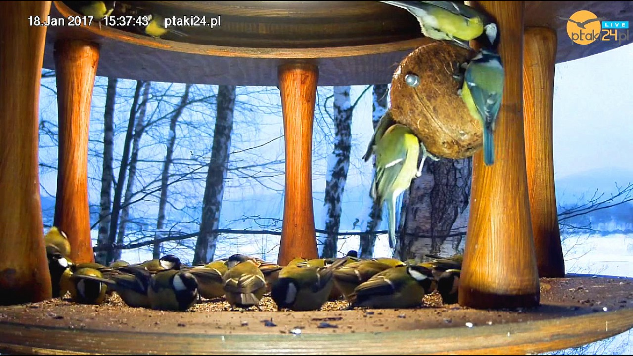Duuużo sikorek bogatek w karmniku dla ptaków nad Soliną