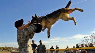 Собаки полицейские! Лучшие породы собак для службы в полиции