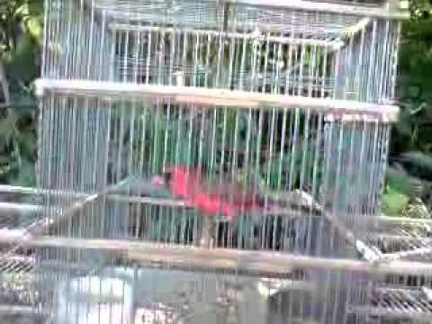 cardenal rojo cantando