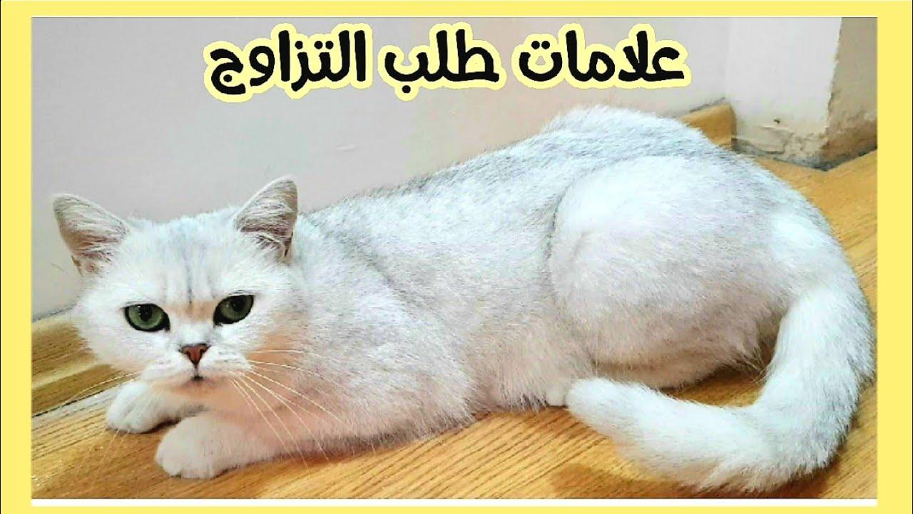 صوت القطط صوت قطة هذه الأصوات ستجعل قطتك مجنونة وتبحث عن مصدر الصوت صوت قطة مواء القطط قطة Youtube