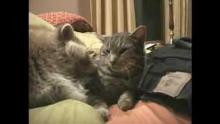 Кот с енотом лучшие друзья