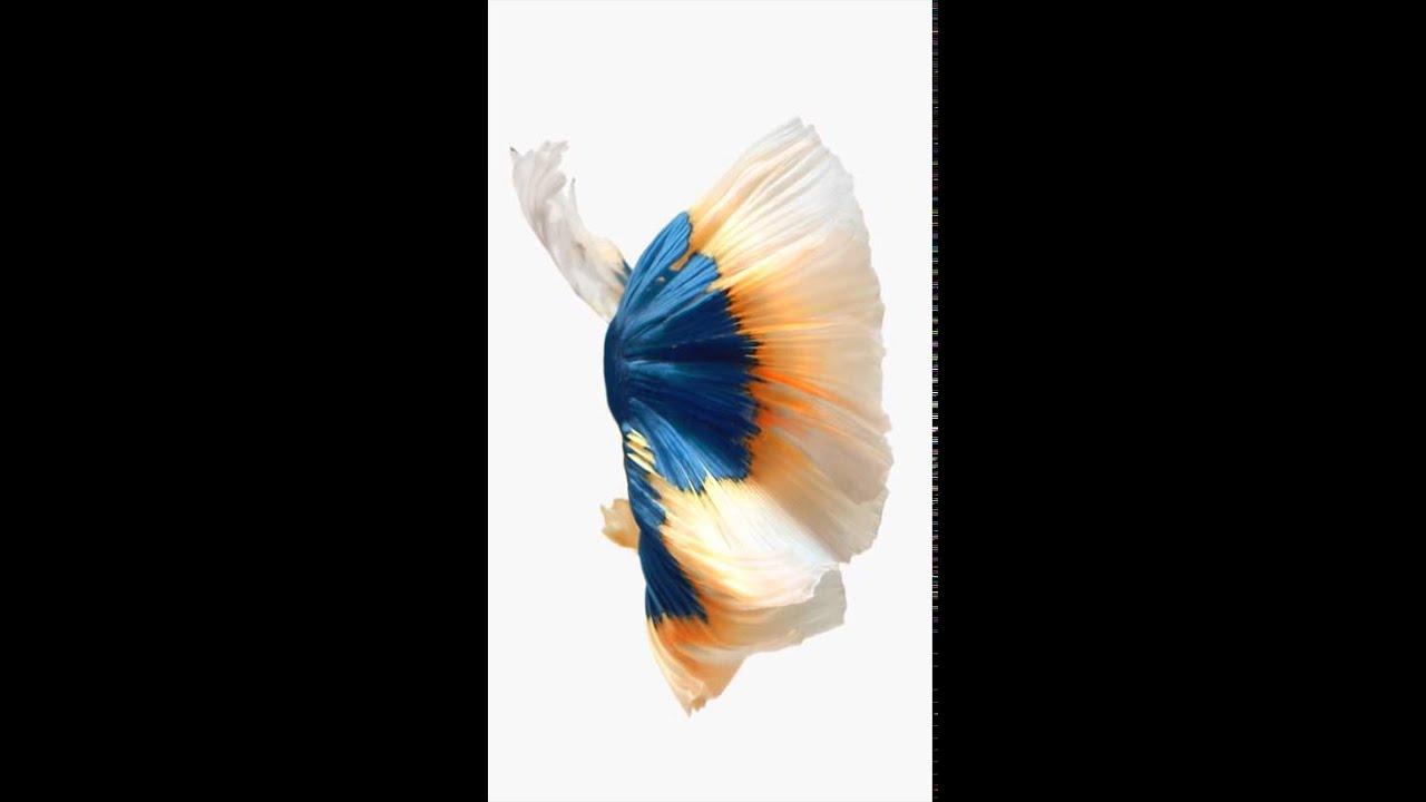 Clown Fish Wallpaper Iphone 6 Plus Iphone 6 Live Wallpaper Youtube