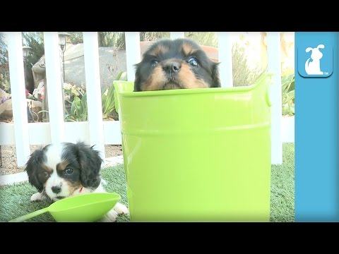 One Cavalier Puppy In A Bucket, One Cavalier Puppy Outside The Bucket  Puppy Love