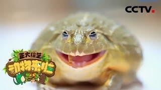 [正大综艺·动物来啦]非洲箱头牛蛙齿突的作用是| CCTV