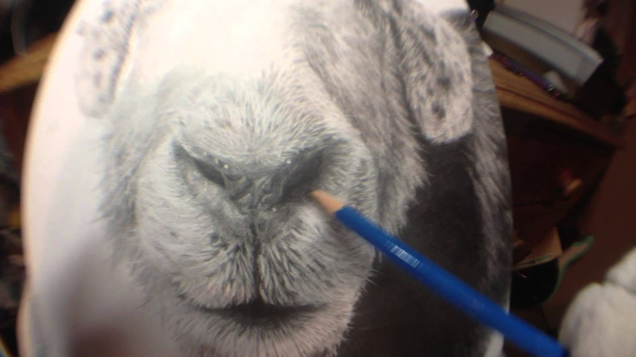 Cashmere Goat Drawing By Pencil