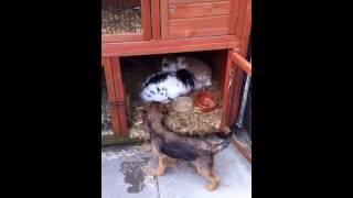 Border Terrier Puppy + Pet Rabbits