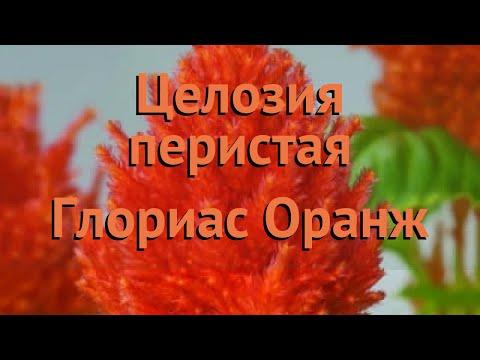 Целозия перистая Оранж 🌿 перистая целозия Оранж обзор: как сажать, семена целозии Оранж