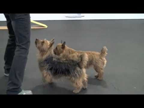Freestyle with Jake and Lil, my Australian Terriers