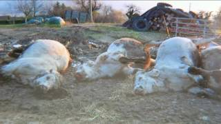 Mort de 25 vaches en Isère,
