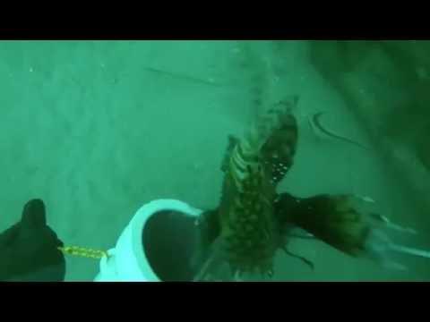 Chicken Coop Reef #OrangeBeachAlabama