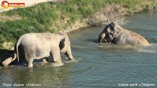ПЕРВЫЙ заплыв МАГДЫ Слонихи ВПЕРВЫЕ плавают ВМЕСТЕ в Тайгане. FIRST ELEPHANT SWIM