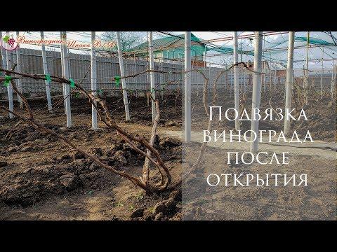 Подвязка винограда после открытия