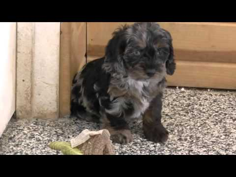 Cockapoo & Mini Goldendoodle Puppies for Sale    Part 1