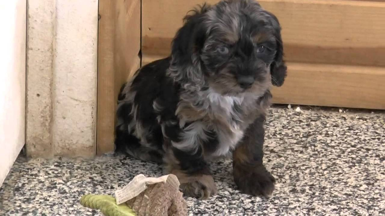 Cockapoo & Mini Goldendoodle Puppies for Sale Part 1