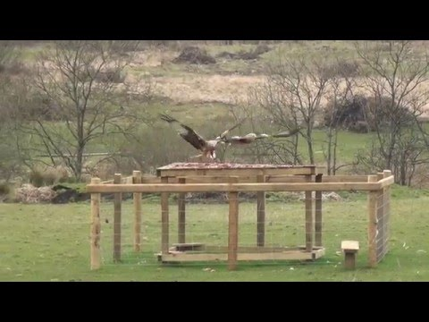 Bellymack Hill Farm, Red Kite Feeding Station, Laurieston  Dumfries and Galloway