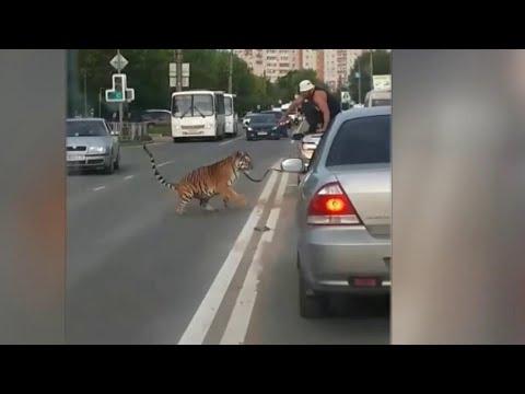 В Иванове из стоящей в пробке машины на дорогу выскочил тигр.