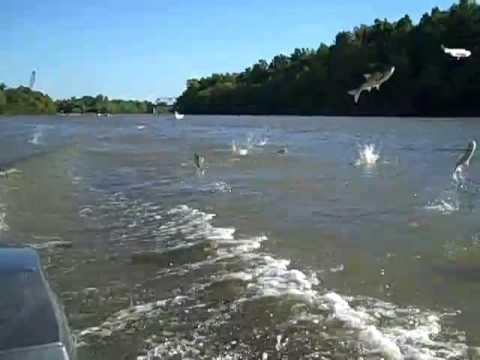 Jumping - Flying Carp Kaskaskia River