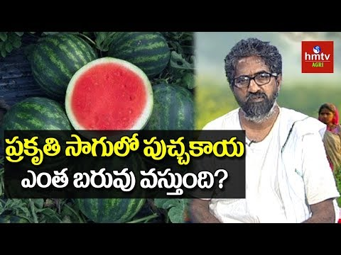 Watermelon Cultivation With Desi Seeds | Natural Farming | hmtv Agri