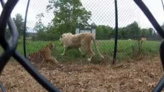 Lion & Tiger Interaction