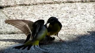 談山神社拝観中賑やかな鳥の声‥ と思いきや突然目前に二羽のキセキレイ...