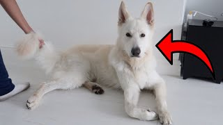 Holding my White German Shepherd's tail for too long! [FUNNY DOG REACTION]