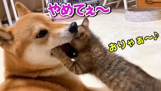 柴犬の口の中に子猫が?!They're best buddie