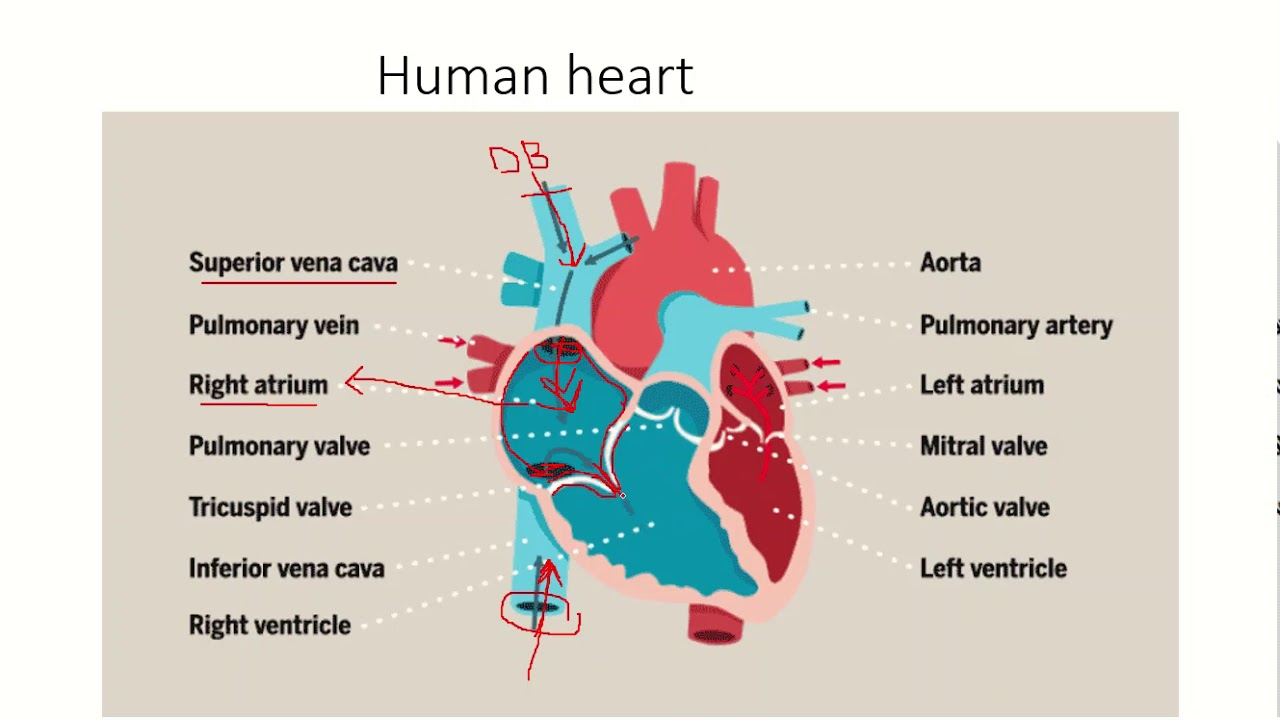 Human heart and its function - YouTube