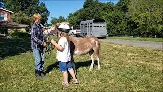 FOR SALE Strawberry Strawberry Roan Mini / Pony Mare - Child Friendly