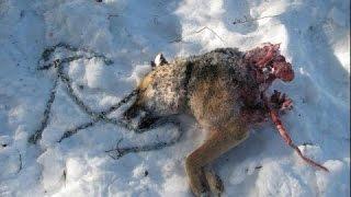 Волки растерзали собаку / Wolves kiling a dog