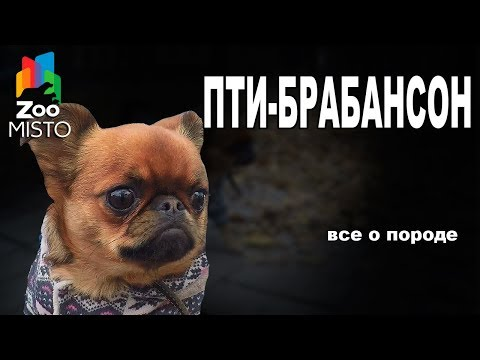 Пти-брабансон - Все о породе собаки | Собака породы - Пти-брабансон