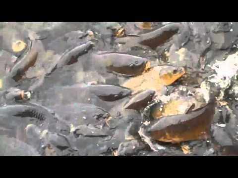 Spillway In Linesville, PA Where Ducks Walk On Fish