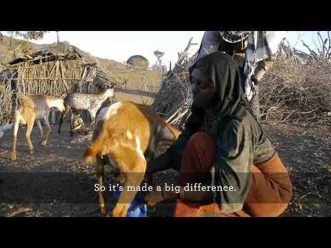 Restocking goat herds is breaking the poverty cycle in Magaale, Afar region of Ethiopia