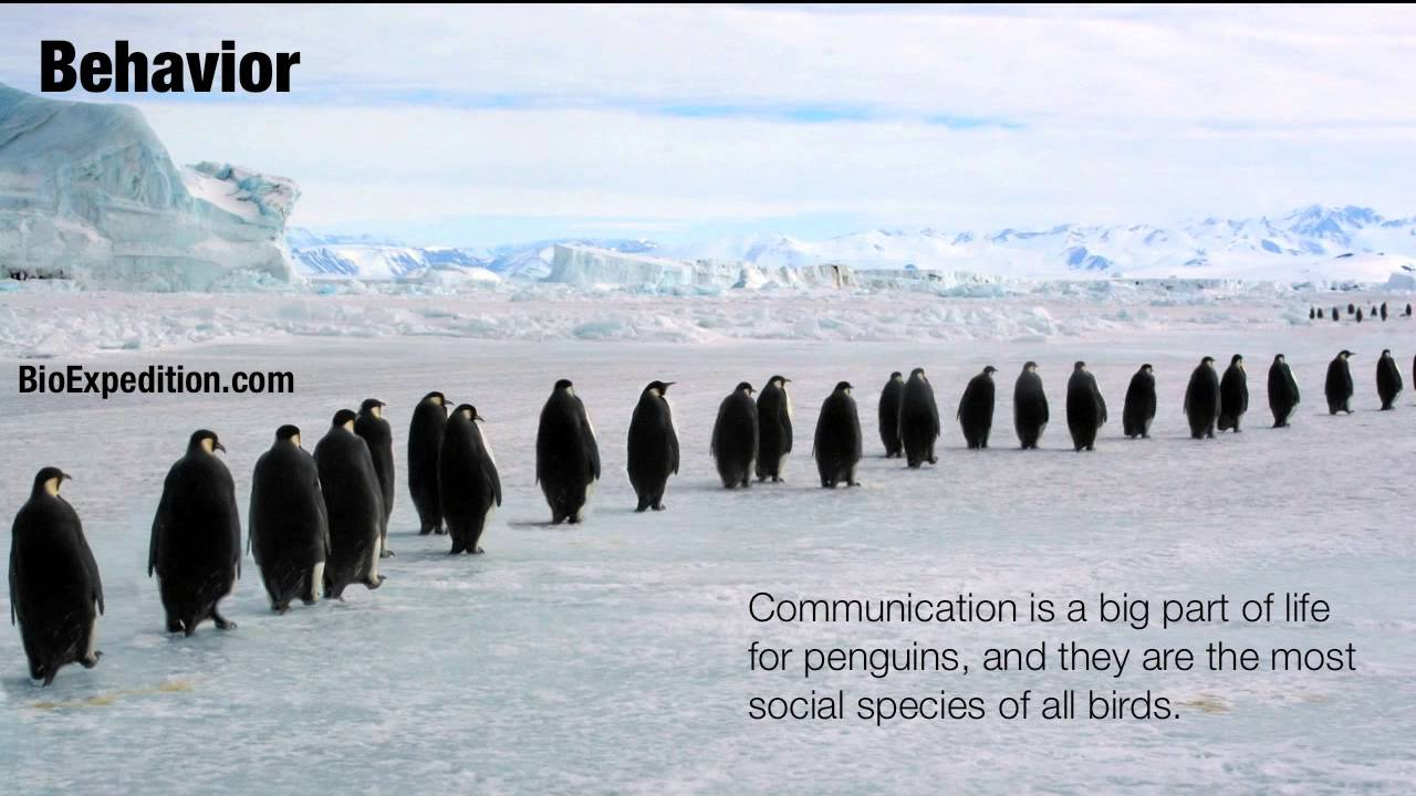 Information about Penguins - YouTube