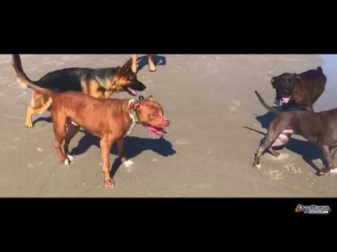 The Horrors of ECollar Training Exposed!  Electronic Collar Training   Off Leash K9