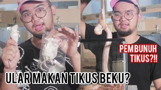 Download Video INI CARA BIKIN ULAR MAU MAKAN TIKUS BEKU !!! #INDOEXOTICPETS MP3 3GP MP4