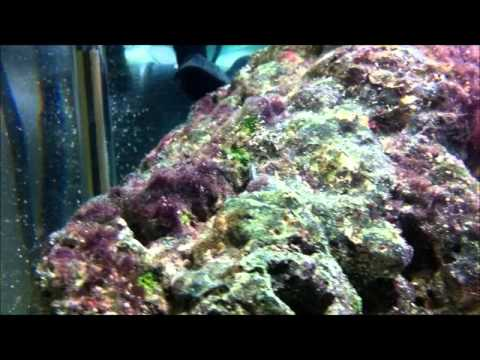 how to grow copepods in refugium
