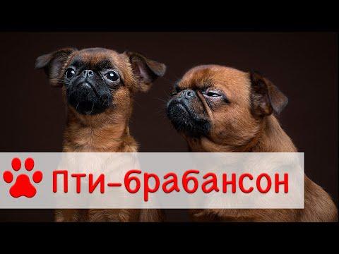 Пти - Брабансон | Собака породы Брабантский гриффон