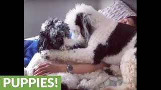 Poodles love spending time with owner while he sleeps