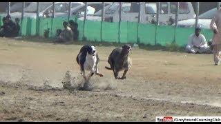 dog racing 2019 | racing greyhounds | greyhound dori track race